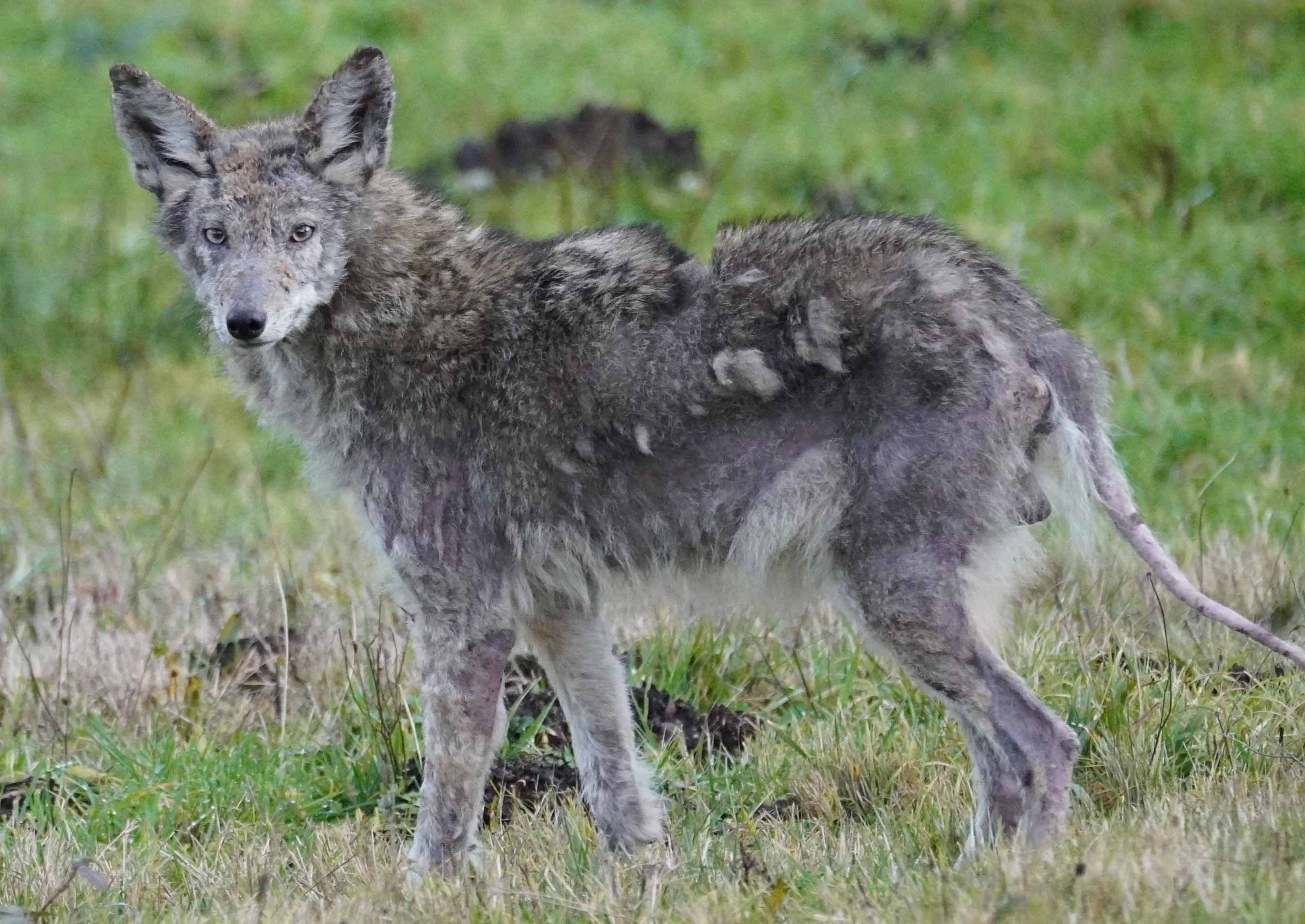 Coyote side view