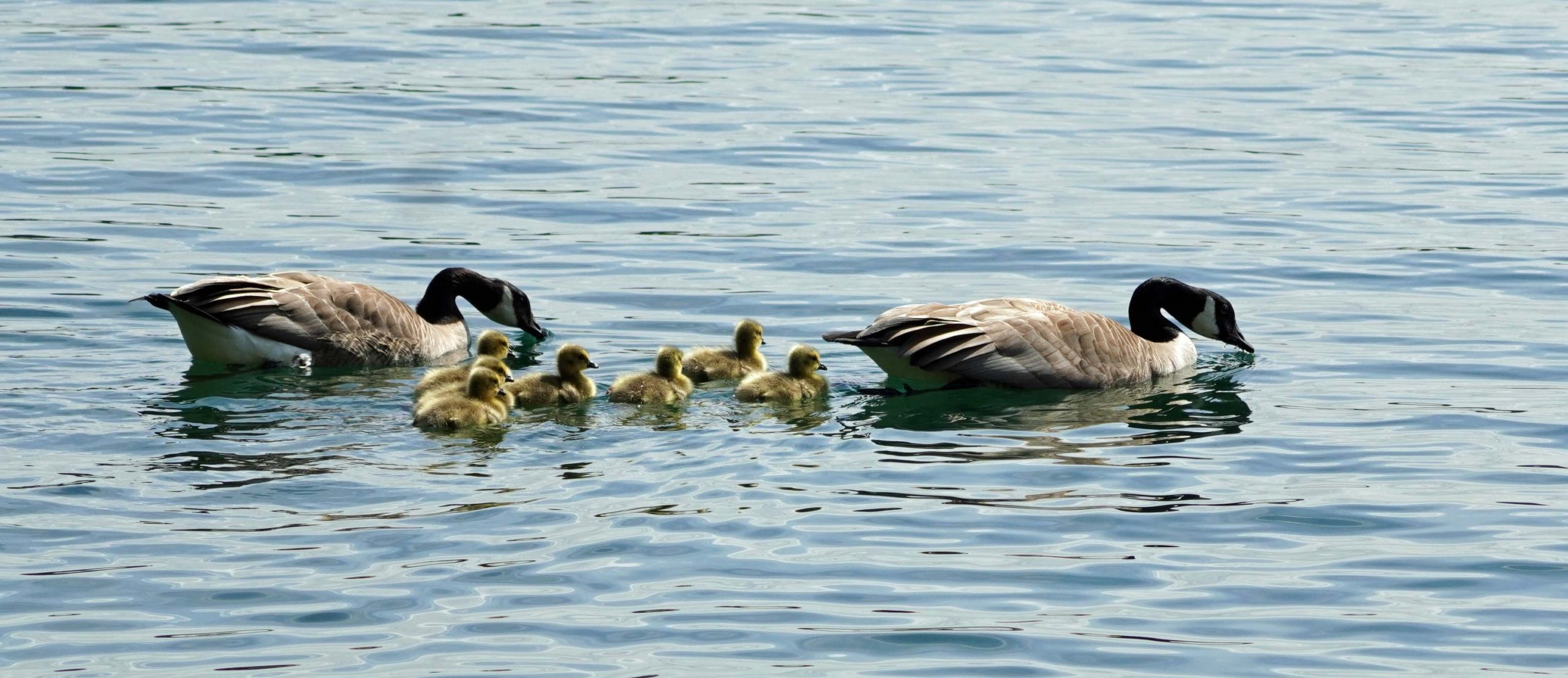 Canada Geese with ducklings