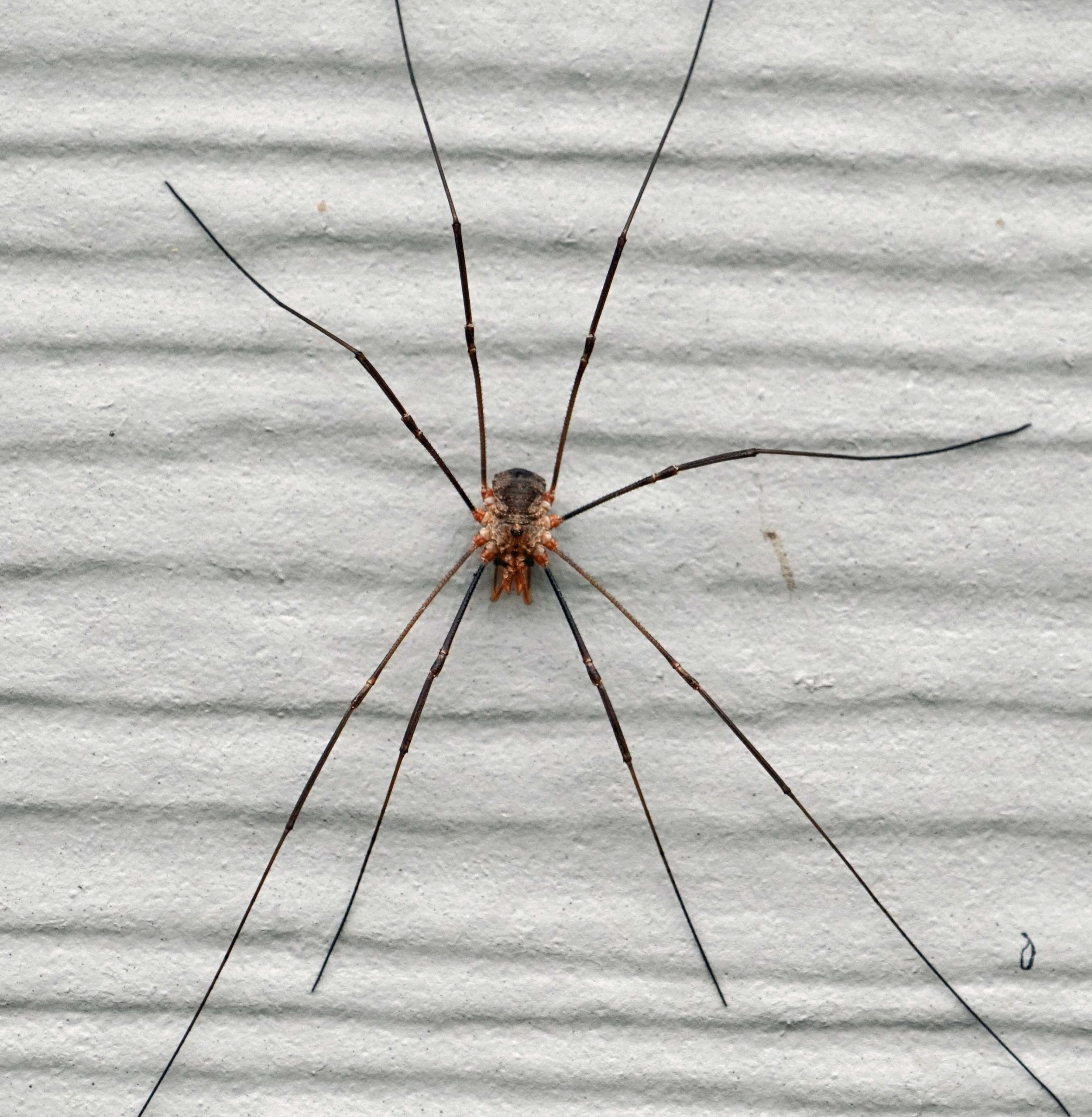 Brown Harvestman