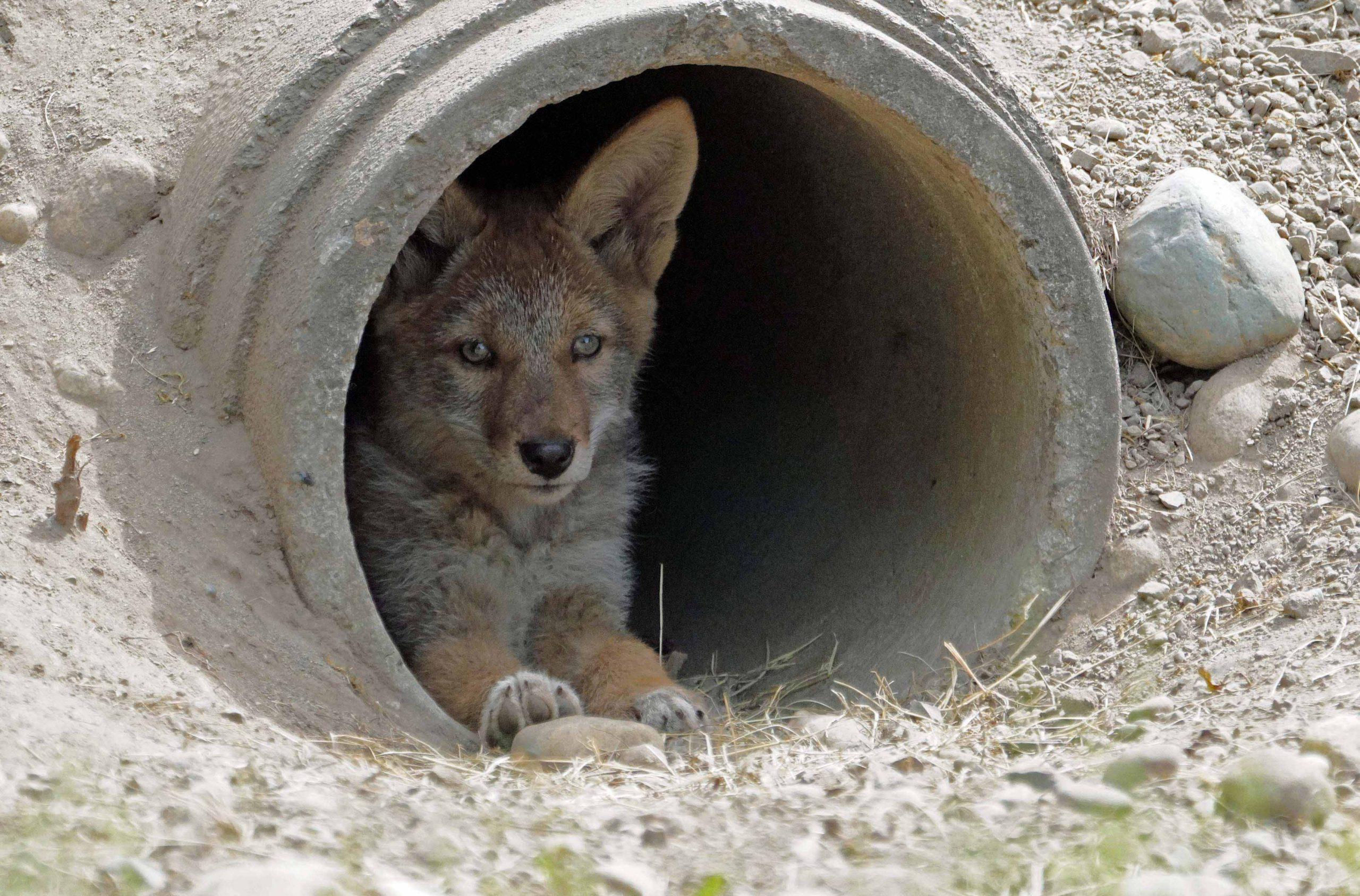 Camp Murray Coyote