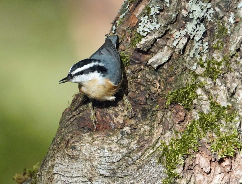 JBLM Red Breasted Nuthatch