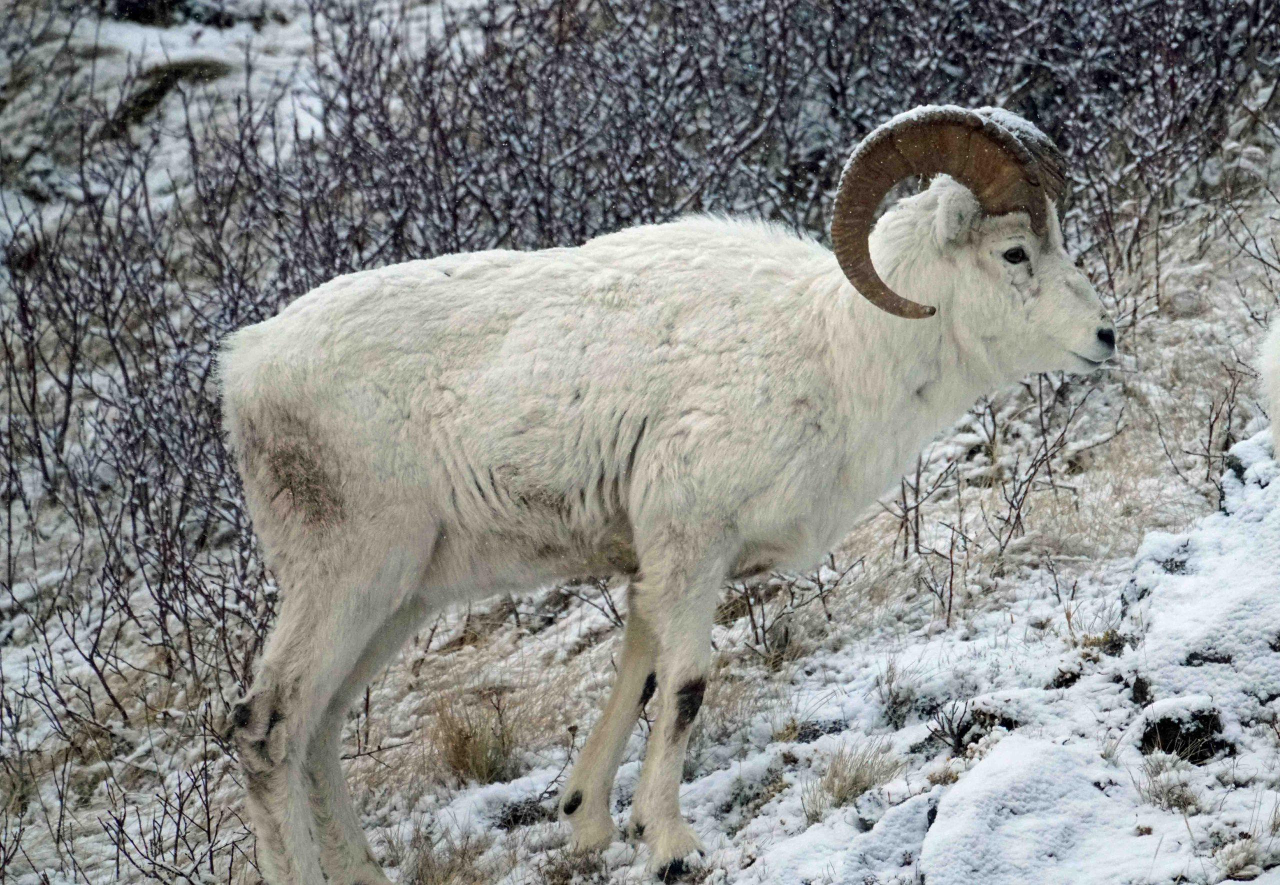 Male Dall Sheep