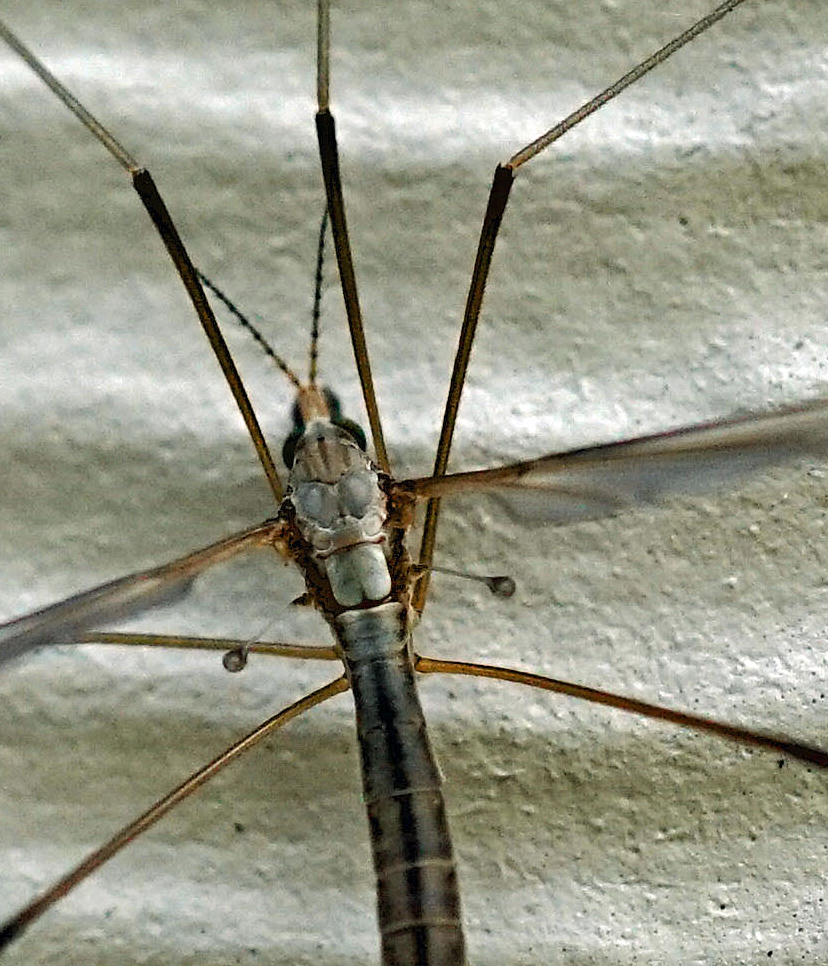 Cranefly looking at you