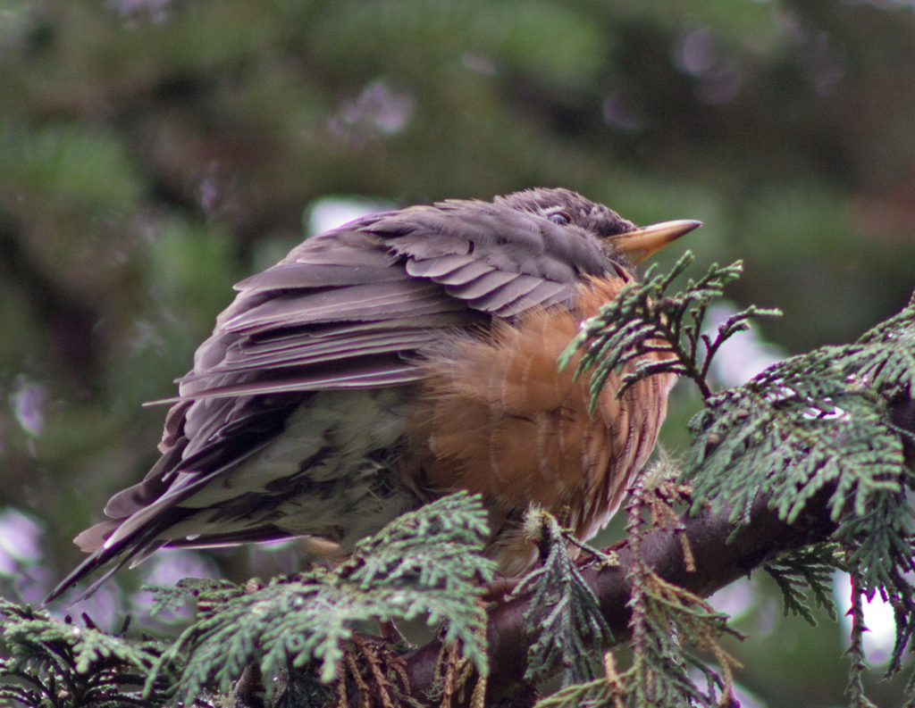 Big Belly American Robin