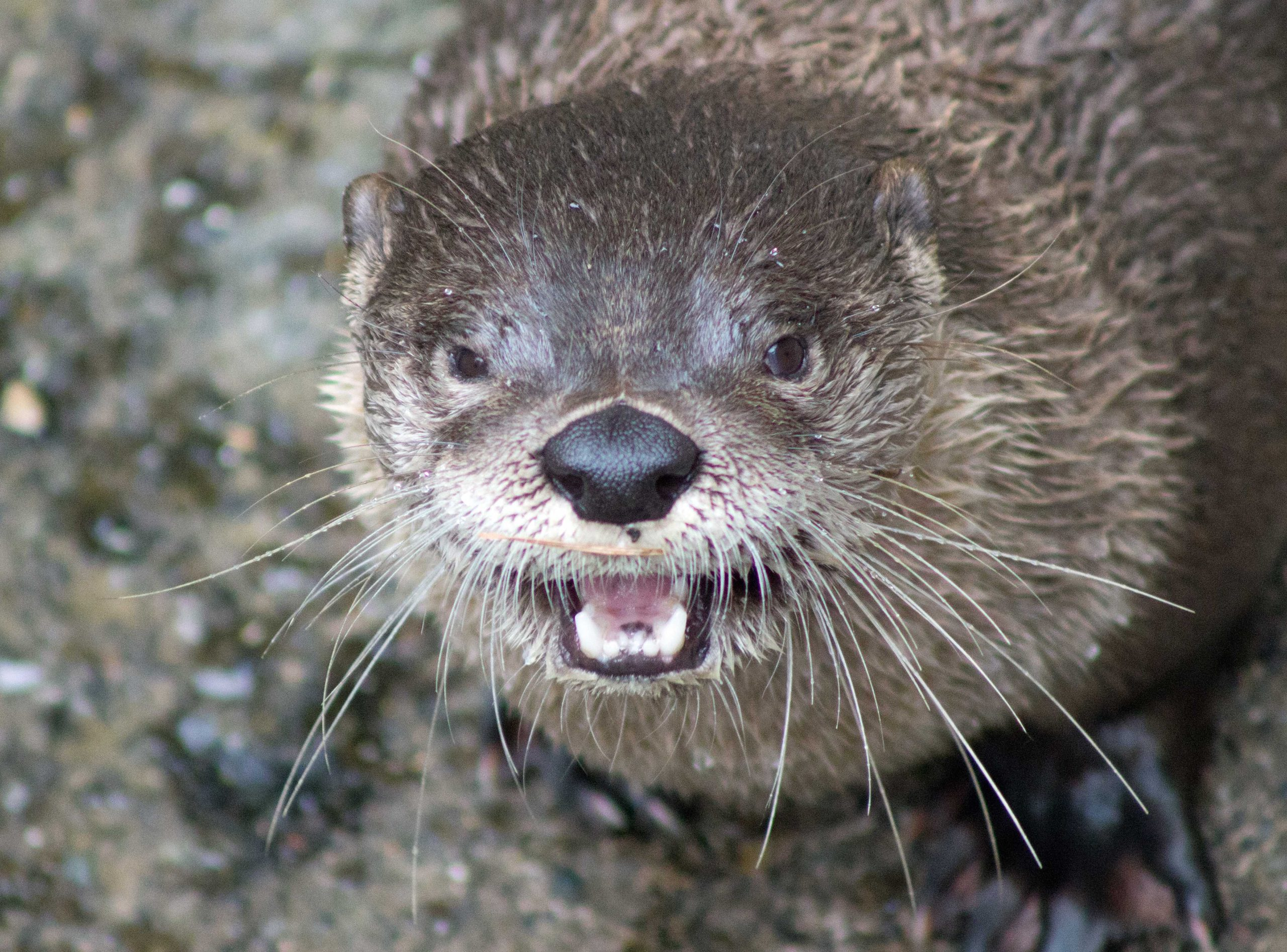 Happy and Hungry Northern River Otter
