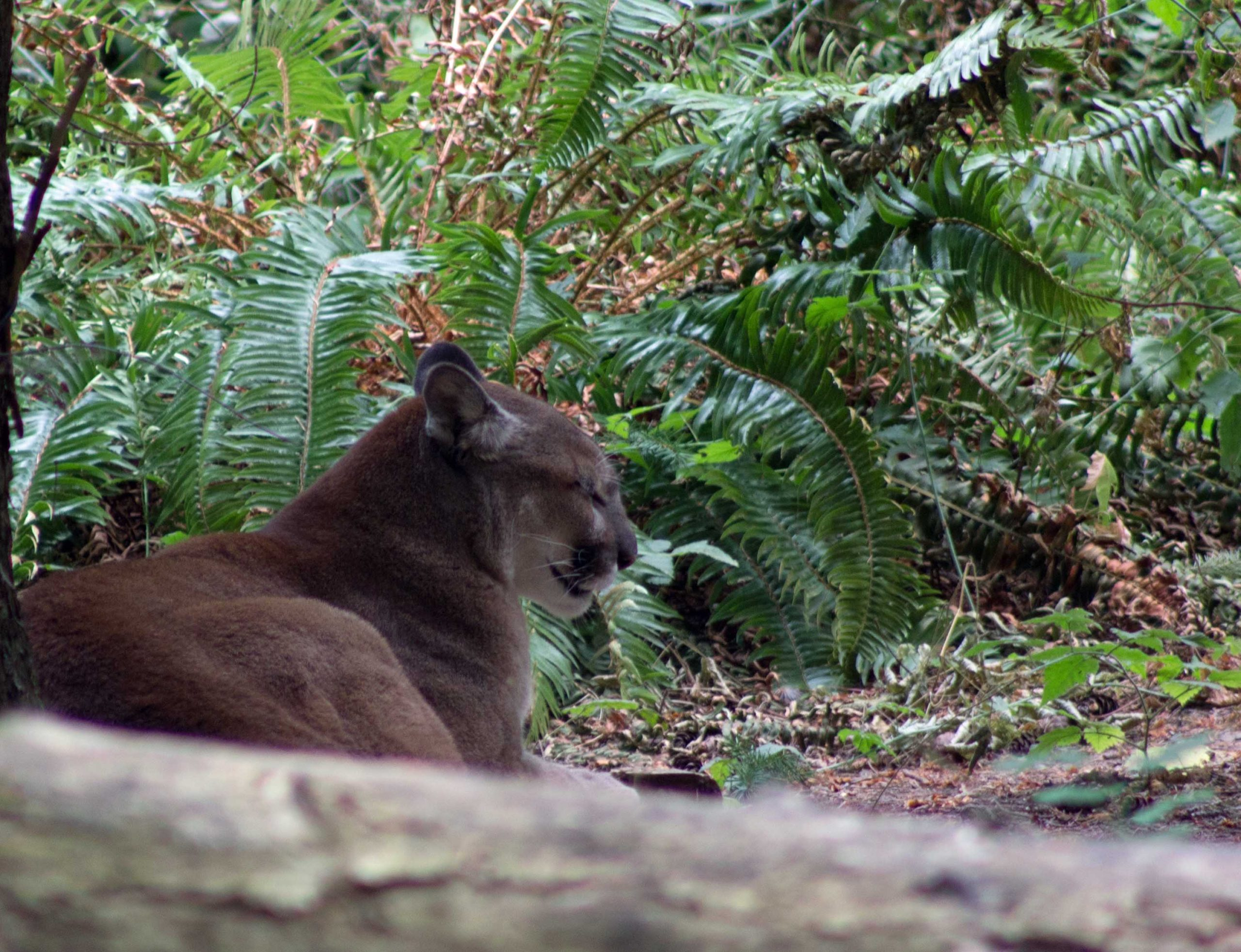 Cool and Calm Cougar